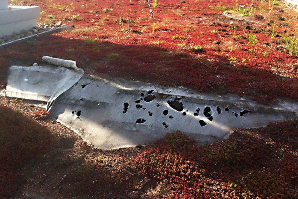 bird damage and dead sedum on a green roof