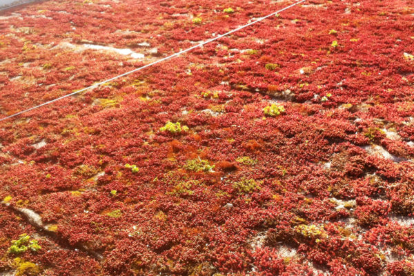 example of what dead sedum looks like as it turns red