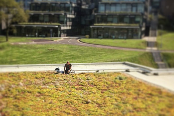Man on sedum roof - our philosophy by Organic Roofs
