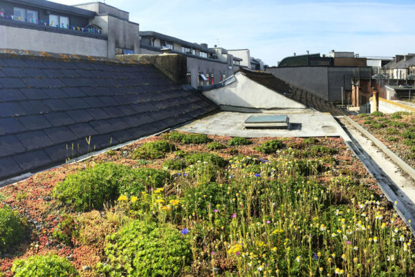 Urban sedum roof revived by Organic Roofs