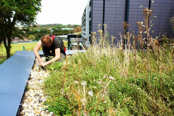 one of our team, caring and maintaining a green roof