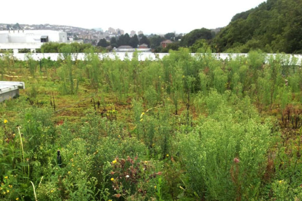 image showing how invasive plants can make sedum roofs appear scruffy