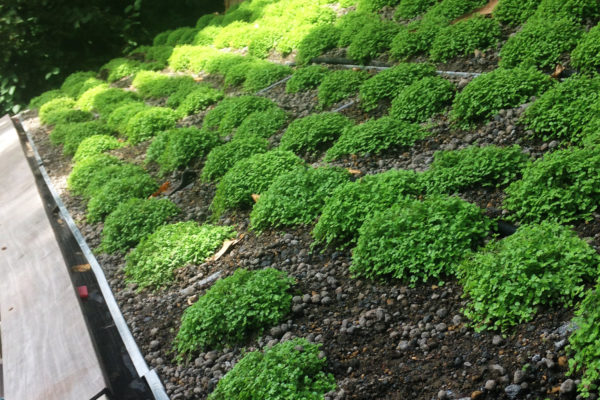 maintaining plant development on a pitched roof