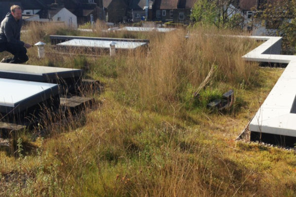 showing grasses and plant development on a green roof