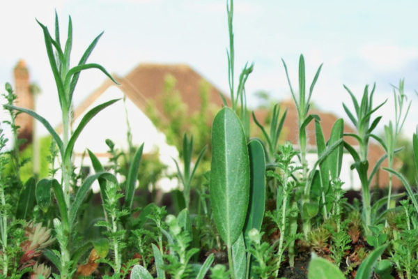 Close up of plants growing on a green roof by Organic Roofs